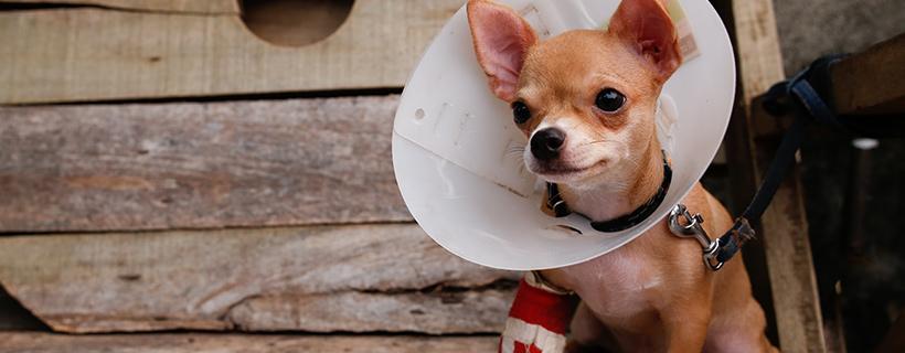 כלב פצוע